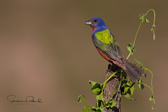 Painted Bunting (Stephen J Pollard (Loud Music Lover of Nature)) Tags: paintedbunting passerinaciris coloríndesietecolores colorín colorínsietecolores bird ave blinkagain photographyforrecreation nature naturaleza fauna wildlife
