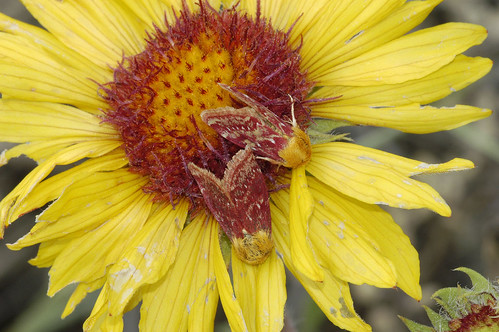 Photo - Two Gaillardia Moths tucked into a single Indian Blanket Flower.