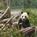 da mao the panda - toronto zoo - 13