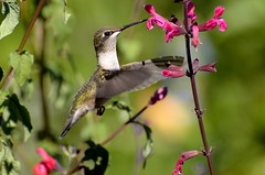 Amazing Nature. (DigitalCanvas72) Tags: flowers ny bird nature birds butterfly outdoors nikon hummingbird bokeh flight birdfeeder fast vine longisland telephoto honeysuckle quickbird newyorl birdphotography baitinghollow nikon70300mmvr fastwings hummingbirdsanctuary nikond7000