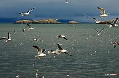 IMGP5717 (Angiari) Tags: ocean iceland al seagull pda sdm if smc f4 1770mm pentaxiani smcpda1770mmf4alifsdm pentaxsmcpda1770mmf4alifsdm