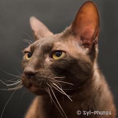Rex Cornish (syl-photos) Tags: portrait pet canada cat chat quebec qubec stphilippe purebredcat sylviel shootingphotos animaldomestique lufio rexcornish chatderace sylphotos