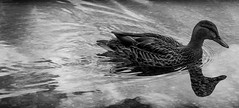 Nature (thessforsure) Tags: blackandwhite nature duck nikon mammoth nikond3100