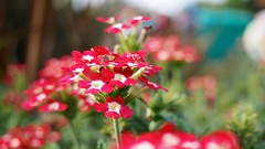 Red Flowers (StOOdi) Tags: flowers red leaves garden botanic kwiaty ep3 kwiat roliny