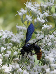 Beautiful blue-winged wasp (lika2009 (in the U.S.A.)) Tags: usa nj september species vineland scoliadubia 2013 bluewingedwasp southvinelandpark