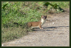 Stoat (Full Moon Images) Tags: bridge nature animal mammal wildlife reserve cambridgeshire stoat kingfishers