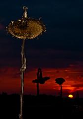 Sonnen[blumen]untergang (Setekh81) Tags: natur sonnenblume sonnenaufganguntergang