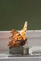C-Falter (Ch.Neis) Tags: france nature grass butterfly reflex nikon papillon 23 nikkor creuse afs comma schmetterling limousin dx polygoniacalbum polygonia nymphalis calbum nymphaliscalbum cfalter robertlediable 18105mm d5200 photographedandcopyrightbychristophneis stpierrecherignat