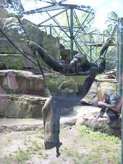 Berlin - Zoologischer Garten (Seesturm) Tags: berlin animals germany zoo tiere europa hauptstadt tiergarten zoologischergarten schimpanse bundeshauptstadt 2013 seesturm