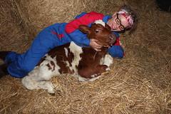 Oh My baby Explore #  326  ( 23 - 11 - 2013 Thanks !!! (excellentzebu1050) Tags: closeup farm birth explore newborn calf newlife explored animails takenwithlove mygearandme flickrstruereflection1