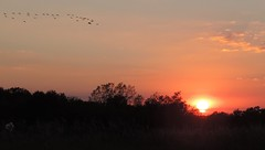 Geese Flying At Sunset (pipsqueak9126) Tags: sky nature landscapes geese sunsets sunsetcolors countrylandscapes sunsetinthecountry