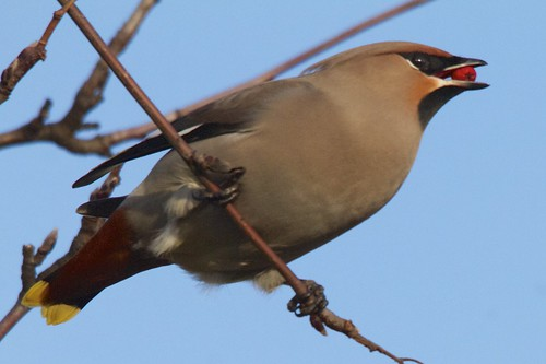 Waxwing with Rowan Berry.