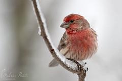 House Finch (Melissa Penta) Tags: snow birds backyard pa finch stroudsburg