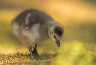 Barnacle Gosling