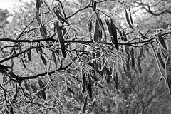 Frost Covered Leaf-Pod-Seed Thingies (Jibby!) Tags: winter blackandwhite bw snow tree monochrome st michael pod frost branch mt washingtonstate thingies spokne