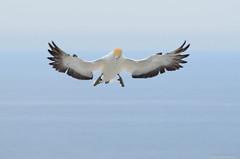 Incoming....! (Travel4Two) Tags: newzealand bird northisland s1 janvangent capekidnappers hawkesbay gannet c1 5000k adl0
