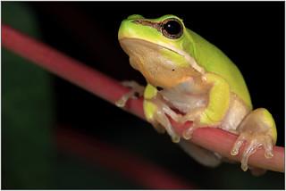 eastern dwarf tree frog - litoria fallax