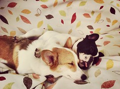 (p.leonardi) Tags: madame dog pet pets cute lady puppy indonesia french pembroke corgi sleep adorable bulldog frenchie doggy welsh bandung anjing sapi guling
