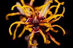 Hamamelis Jelena - aka Witch Hazel (Paul Sibley) Tags: flower photoaday 25365 nikond60 3652014