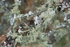 Parmotrema and Usnea (Eric Hunt.) Tags: lichen usnea foliose parmotrema parmeliaceae