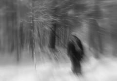 Lorsque le vent souffle.. When the wind blows (Amiela40) Tags: trees winter white forest vent wind hiver blowing blow souffle arbre blanc fort tempte poudrerie temptedeneige photoquebec