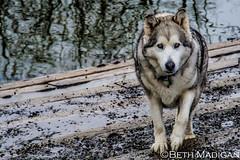 Marymoor Dog Park (Beth Madigan) Tags: dog animal husky redmond marymoor sadeyes marymoordogpark
