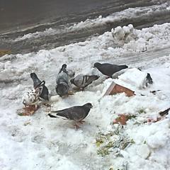 IMG_043459 (Christina Nalio) Tags: nyc newyorkcity winter snow bird manhattan pigeon snowstorm midtown bryantpark