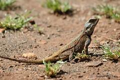 DSC_3288 (martin-kalus.de) Tags: sdafrika echse lowersabie krgerpark fotografmartinkalus