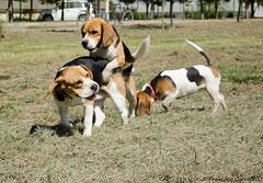 Beagle Talca (iluziones en la calles) Tags: chile pets beagle dogs animals de nikon universidad perros animales cachorros beagles talca cachorritas d5100