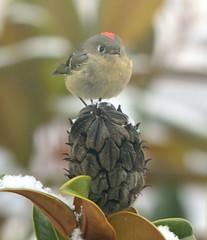Ruby-crowned Kinglet (Schnapschot) Tags: vancouverisland victoriabc rubycrownedkinglet reguluscalendula evergreenmagnolia