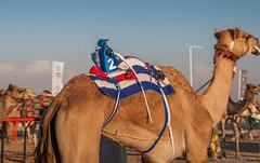 Deserts and Camels 131107 16_55_20 (Renzo Ottaviano) Tags: race al dubai desert united racing course emirates camel arab lorenzo races camels corrida emirate deserts uniti renzo unis arabi carrera corsa emirati unidos camellos chameaux rabes kamelrennen   arabes ottaviano camelos emiratos emirados vereinigte arabische cammelli emiratiarabiuniti mirats     marmoun