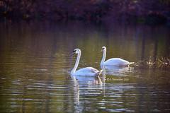 Swan (A. Shamandour) Tags: lake bird eye look animal photography photo spring swan syria damascus bluehead shamandour