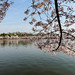Cherry Blossoms at Tidal Basin 2014 7.jpg