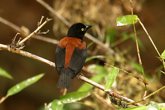 Vieillot's Black Weaver ♂ Ploceus nigerrimus castaneofuscus (Roger Wasley) Tags: vieillots black weaver male ploceus nigerrimus castaneofuscus osu ghana west africa wild birds african weavers nests
