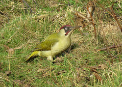 Green Woodpecker - Picus viridis (erdragonfly) Tags: picusviridis