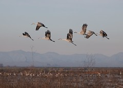Sandhill cranes rising in the early sun (Victoria Morrow) Tags: