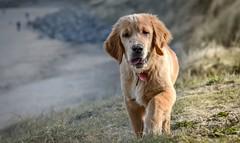Beach ready (Sharron Burns) Tags: intraining guidedogpuppy dog outdoors beach goldenretriever puppy