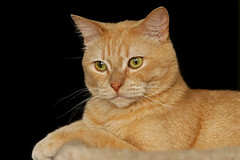 Updated Portrait Of Goldie A Rescued Feral Cat (AlaskaFreezeFrame) Tags: cats cat gato feline beautiful eyes nature wildlife canon 70200mm alaska alaskafreezeframe winter spring closeup macro rescued feral wild strays intense kitten portrait playing flash indoors gingercat blackbackground anchorage bounceflash posing indoor
