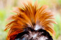 Feathers on a cock - RSPB Fowlmere (Airwolfhound) Tags: feathers colour colourful cockerel rspbfowlmere