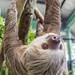 Hoffmann's two-toed sloth Gamboa Wildlife Rescue pandemonio 2017 - 27