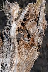 Great Horned Owls of New Jersey | 2017 - 3 (RGL_Photography) Tags: birdwatching birding birds birdsofprey bubovirginianus familystrigidae gardenstate greathornedowl nikonafs600mmf4gedvr nikond500 ornithology owl raptor strigiformes wildlife wildlifephotography newjersey unitedstates us owlet