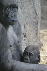 IMG_2415 (mrwalli) Tags: baby mother hugging calgaryzoo gorilla lifeistough eyes