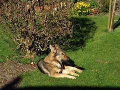 Isla sunbathing (Glosters) Tags: thedognextdoor alsatian