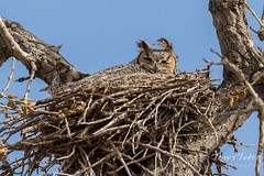 After the attack, mama owl tries to rest