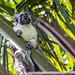Geoffroy's tamarin monkey - wild titi monkeys gamboa panama pandemonio 2017 - 25