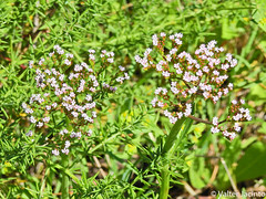 Calcitrapa // Annual Valerian (Centranthus calcitrapae) (Valter Jacinto | Portugal) Tags: europe portugal algarve loulé almancil quintadolago plantae magnoliophyta magnoliopsida dipsacales valerianaceae centranthus centranthuscalcitrapae calcitrapa annualvalerian flores flowers wildflowers nature naturephotography biodiversity plantas plants flora taxonomy:binomial=centranthuscalcitrapae taxonomy:genus=centranthus taxonomy:family=valerianaceae taxonomy:order=dipsacales taxonomy:class=magnoliopsida taxonomy:phylum=magnoliophyta taxonomy:kingdom=plantae geo:region=europe geo:country=portugal prnpppriaformosa nikoncoolpixp900 p900