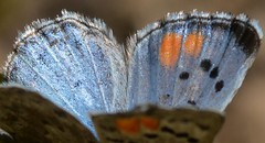 Looking close at a male Sonoran Blue butterfly (Treebeard) Tags: sonoranblue philotessonorensis male blue butterfly polyommatinae lycaenidae lepidoptera sanmarcospass santabarbaracounty california macromondays orangeandblue