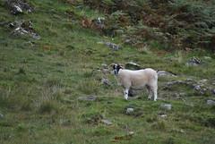 Isle of Mull - B8035 (gfdebiasi) Tags: pecora sheep pascolo pasture mull