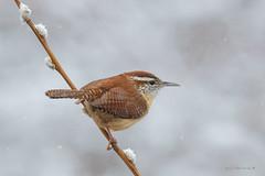 Carolina Wren (Earl Reinink) Tags: winter snow snowfall songbirds earl reinink earlreinink niagara ontario nature bird birdphotography naturephotography spring wren carolinawren riduidhdia thryothorusludovicianus