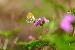 Aurore et herbe à robert (jpto_55) Tags: papillon aurore proxi bokeh xe1 fuji fujifilm fujixf55200mmf3548rlmois hautegaronne france ngc